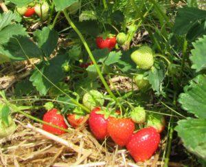 Erdbeeren produkte