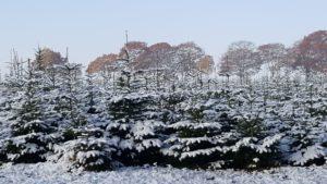 Weihnachtsbäume mit Schnee 3