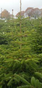 Weihnachtsbäume2