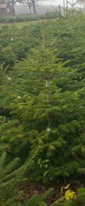 Weihnachtsbäume3