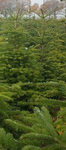 Weihnachtsbäume4