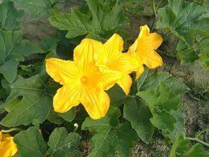Kürbisblüte 1