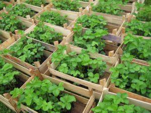 Erdbeerpflanzen in Kisten