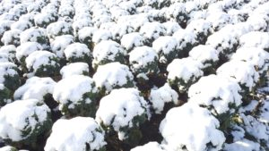 Grünkohl mit Schnee