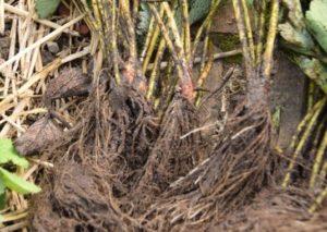 erdbeerpflanzen mit wurzel