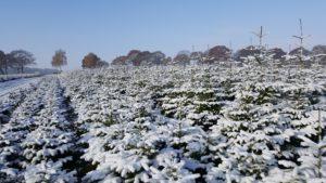 weihnachtsbäume mit schnee 2