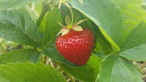 Erdbeerbild 1