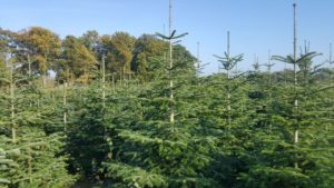 Tannenbäume 1