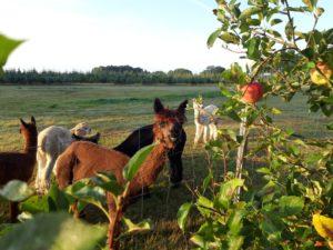 Alpaka am Apfel