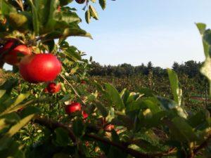 Apfelbäume 2